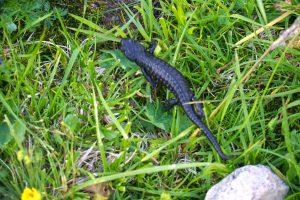 Und endlich ist mir heuer auch mal ein Salamander untergekommen.